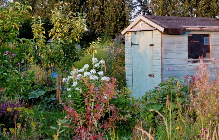 An Allotment garden with blue shed
